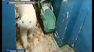 На Новой Земле из-за нашествия белых медведей действует режим чрезвычайной ситуации