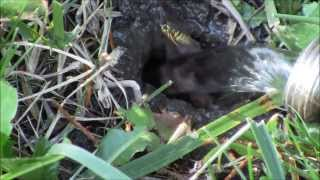 Bees In The Ground & Flooding The Nest With Water.