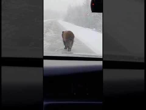 Брошенная цирком медведица бродит по дороге в Якутске в -40