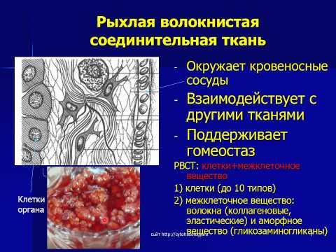 Собственно соединительные ткани 1. РВСТ