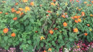 How to grow Tithonia. Variety Torch. (Mexican sunflower).