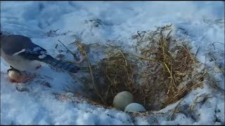 Decorah Eagles-Mom Leaves The Nest-A Blue Jay Visits