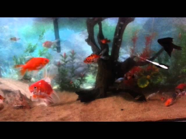 Aquario comunitario 200 litros,kinguios,plati,molinesia,guppy,tetra,coridora,acara,carpas e etc