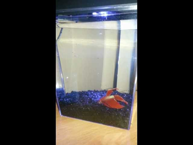 Beautiful Red Male Betta Fish, One Gallon Tank, And LED Lights - Commentary