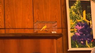 Конкурс пения канареек Москва 2012 год птица  №15