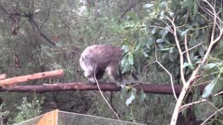 preview picture of video 'Koala live in Koala Conservation Centre, Phillip Island, Australia'