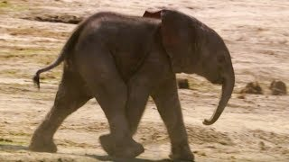 Baby Elephants First Water Trip   The Long Walk Home   BBC Earth