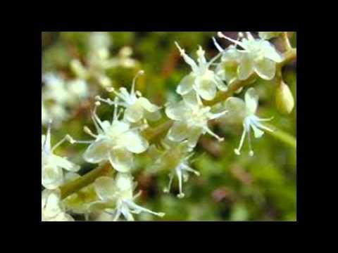 Video Jual teh bunga binahong | khasiat manfaat kegunaan untuk kesuburan