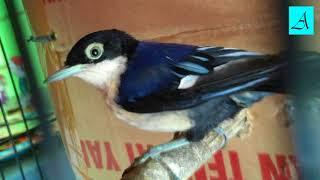 Langsung Nyaut!!! Masteran Burung Rambatan Loreng Super Efektif Bikin Burung Rambatan Loreng Gacor D