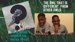 Burrowing owl| The Afolabi brothers