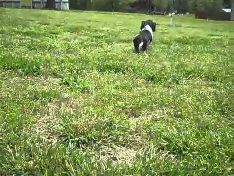 Tri- color Male Basset Hound Puppy