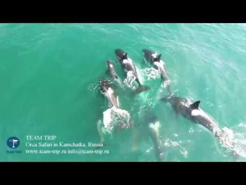 Нападение косаток на небольшого кита сняли на видео российские учёные