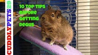 10 Top Tips Before Getting Degus