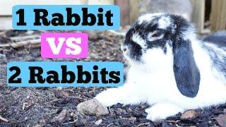 1 Rabbit VS 2 Rabbits