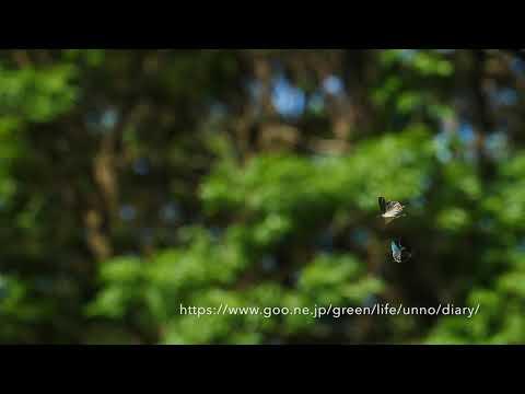 ジョウザンミドリシジミのテリトリー争い by GH5 Slow
