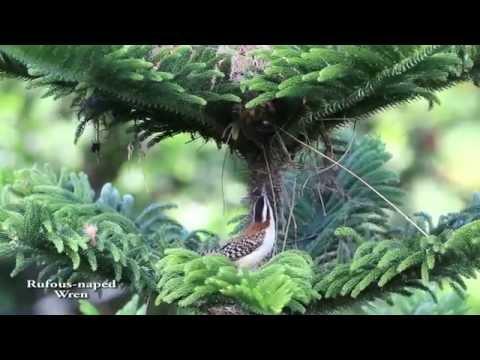 Campylorhynchus rufinucha