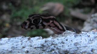 Yucatan banded gecko at T.R.E.E.S in Belize