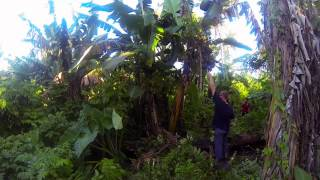 preview picture of video 'Pablo vs Banana Tree'