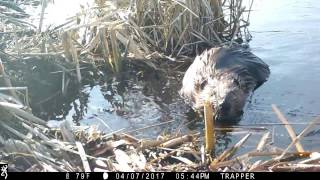 """Basic Beaver Trapping """"Footholds with actual catch on film as it  happens"""""""