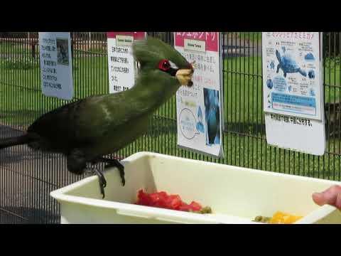 最近、給餌に来るとすぐに餌を取りに飛んでくるようになった「ムジエボシドリ」。飼育スタッフと見つめ合う??姿も・・・ご紹介します(^▽^)/
