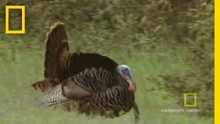 Turkeys Gone Wild | National Geographic thumbnail