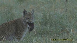 Lodjur Lynx lynx Västmanland 2011