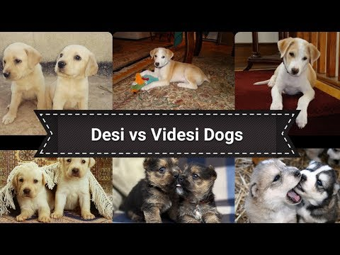 Desi vs Videsi dog/ Indian stray dogs vs foreign breed dogs