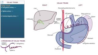 Anatomy and Physiology: Celiac trunk