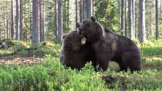 Best Bear fight ever!