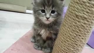 """Помёт """"К"""" (28 дней) Котята породы мейн-кун. Жизнь питомника мейнкунов."""