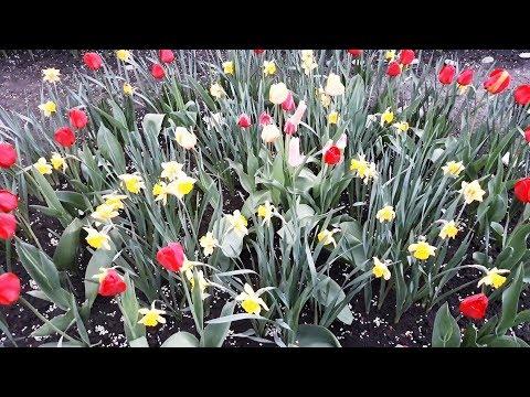 Весенние цветы  Первоцветы в моем саду
