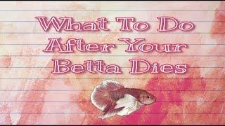 What To Do After Your Betta Dies // Blazing Bettas