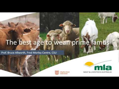 , title : 'The best age to wean prime lambs