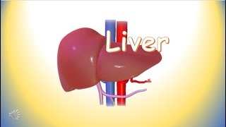 Liver ; functions of liver ; Human body organs ; Science for kids