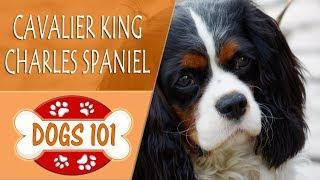 Dogs 101 - CAVALIER KING CHARLES SPANIEL- Top Dog Facts About The CAVALIER KING CHARLES SPANIEL