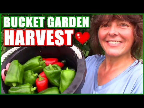 , title : 'Bucket Garden Pepper Harvest | Bucket Gardening
