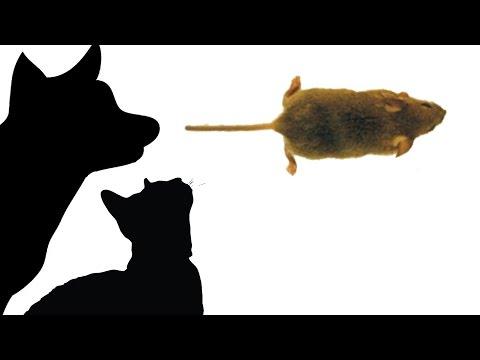 Les préparations pour le retrait des helminthes chez les chatons