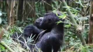 preview picture of video 'Visited the Sliverback Gorillas in Volcanoes National Park, Rwanda in December 2008'