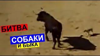 Смотреть онлайн Маленькая собачка победила трех быков