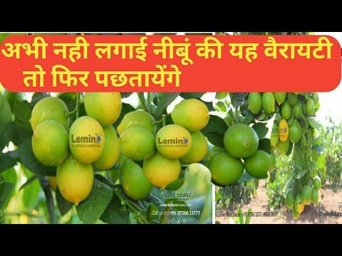Lemon Tree - Wholesale Price for Lemon Plant in India