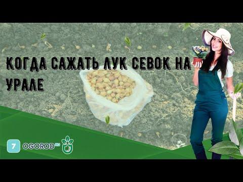 Когда сажать лук севок на Урале