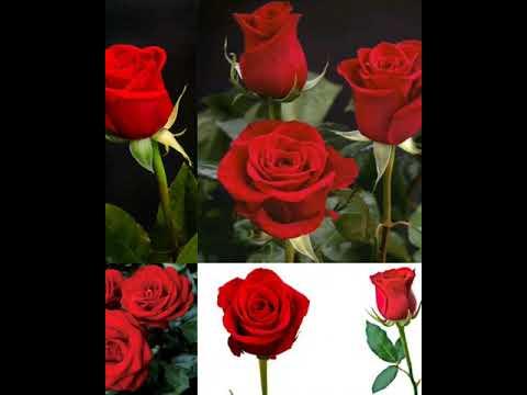 Secret of Lovely Rose