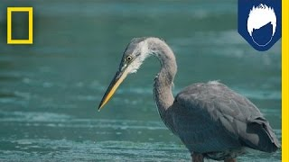 Herons Have a Secret Weapon for Catching Fish: the Deathblow | National Geographic