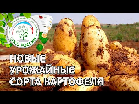 Сорта картофеля. Описание проверенных урожайных сортов картофеля.