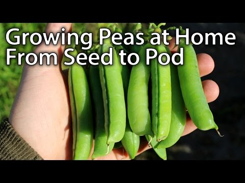 Growing Peas without Pests - From Planting to Harvesting!