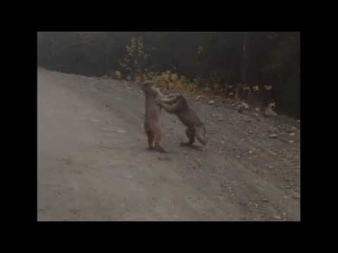 Two Lynx Fight Over Territory