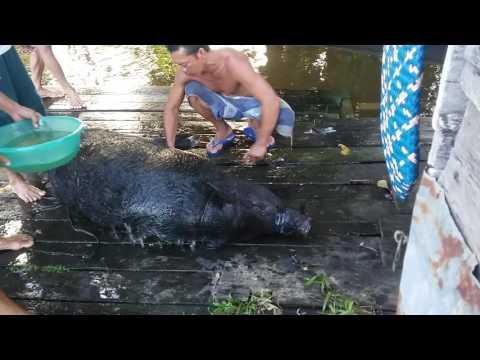Video NGERI yang gag kuat jangan nonton(penyembelihan babi di suku dayak kalimantan barat