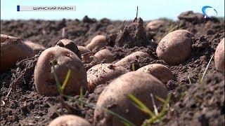 Посадка картофеля в Новгородской области идёт в ускоренном темпе