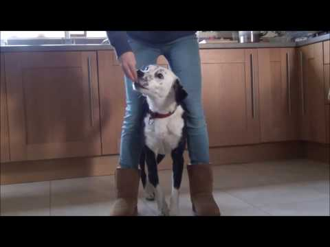 How to Train Your Dog to Walk on Your Feet - Tutorial