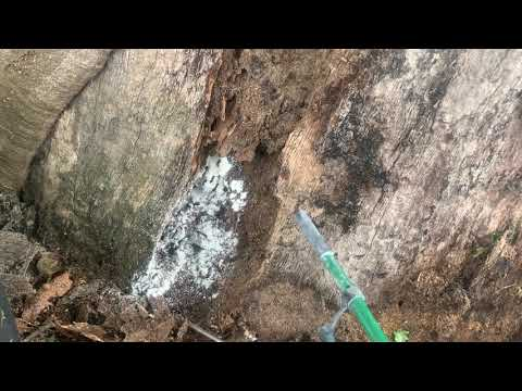 Hidden Carpenter Ants Nest Discovered in Old Tree in Neptune, NJ
